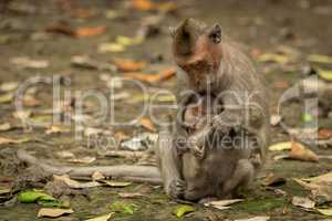 Long-tailed macaque sits cuddling baby among leaves