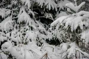 Snow covered spruce in winter time.