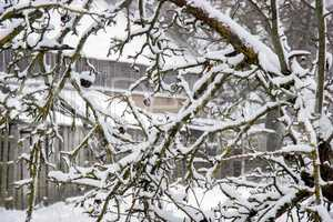 Apple tree covered with snow