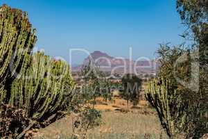 Candelabra Trees Euphorbia candelabrum near Wukro Cherkos in Ethiopia, Africa