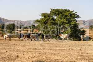 Brahman or Zebu bulls near the Blue Nile falls, Tis-Isat Falls, Ethiopia Eastern