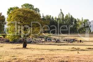 Brahman or Zebu bulls near the Blue Nile falls, Tis-Isat, Ethiopia, Africa