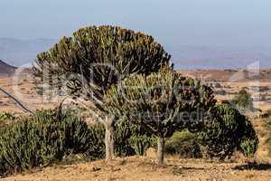 Candelabra Trees Euphorbia candelabrum near Wukro Cherkos in Ethiopia