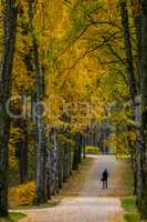 Alley of birches in sunny autumn day.