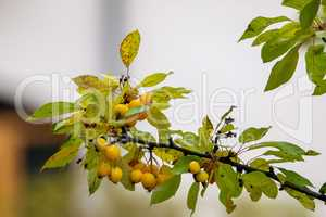 Branch with yellow Paradise apples in autumn day.