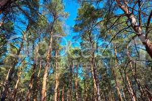 tall pines and their crowns against the blue sky