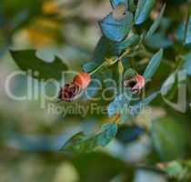 rose hip shrub