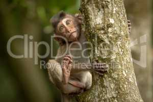Baby long-tailed macaque clinging to tree trunk