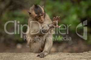 Baby long-tailed macaque grooms leg on wall