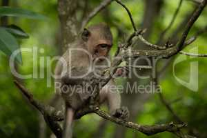 Baby long-tailed macaque in tree holding twig