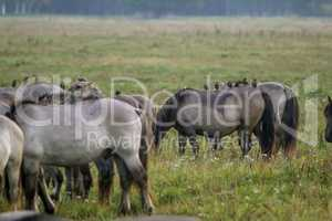 Wild horses grazing in the meadow on foggy summer morning.