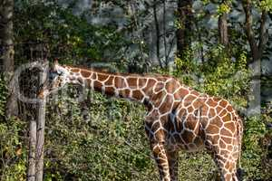 The giraffe, Giraffa camelopardalis is an African mammal