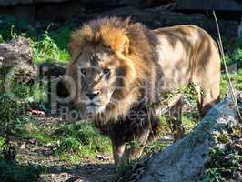The lion, Panthera leo is one of the four big cats in the genus Panthera