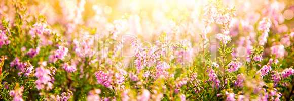 Erica Flower Field, Summer Season, Bokeh, Greeting Card