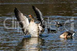 The greylag goose, Anser anser is a species of large goose