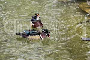 The wood duck or Carolina duck, Aix sponsa is a species of perching duck
