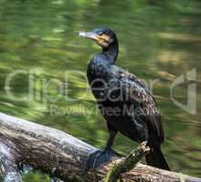 The great cormorant, Phalacrocorax carbo drying his feathers.