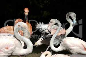 The American flamingo, Phoenicopterus ruber is a large species of flamingo
