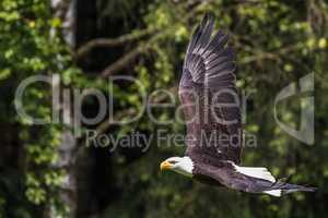 Flying bald eagle lat. haliaeetus leucocephalus in a park