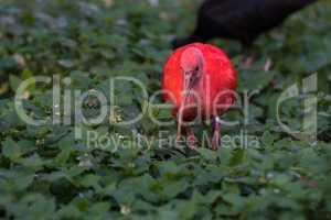 Scarlet ibis, Eudocimus ruber. Wildlife animal in the zoo