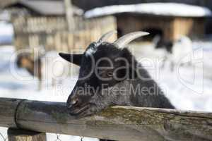Pygmy goat in a park, wintertime
