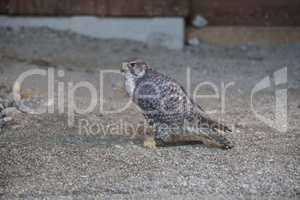 Peregrine falcon in sandy underground