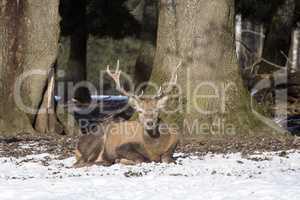 Red deer in a park, wintertime