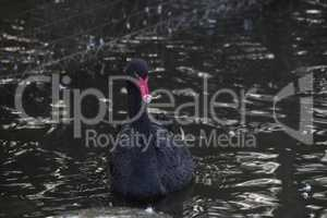 Black swan with red beak swims outside