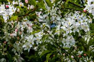 Branches of the fruit tree with blossoming white flowers.