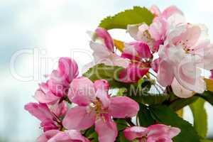 Apple tree flowers in spring season.