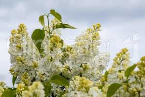 Blooming white lilac flowers in spring season.