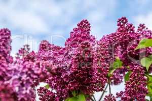 Blooming pink lilac flowers in spring season.