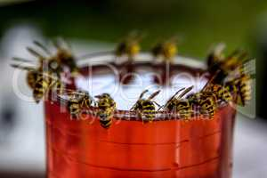 Wasps feast. Wasps on the glass of sweet drink