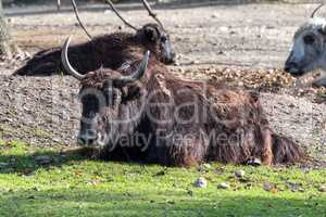 The domestic Yak, Bos mutus grunniens in the zoo