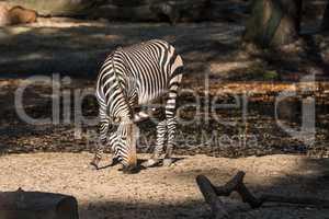 Hartmann's Mountain Zebra, Equus zebra hartmannae. An endangered zebra