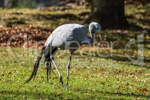 The Blue Crane, Grus paradisea, is an endangered bird