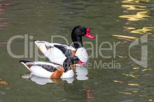 Common Shelduck, Tadorna tadorna swimming on the water