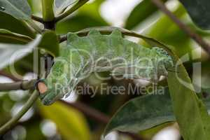 Atlas moth - Attacus atlas - caterpillar on its host plant stem