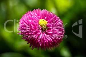 Top view of Red Chrysanthemum flower on green background