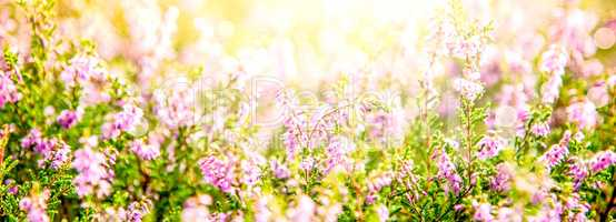 Sunny Erica Flower Field, Summer Season, Bokeh