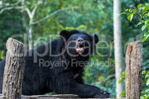 black bear in animal conservation, Tat Kuang Si waterfalls, Luang Prabang, Laos