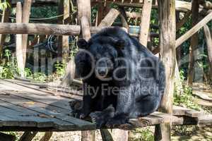 black bear in animal conservation, Tat Kuang Si waterfalls, Luang Prabang, Laos