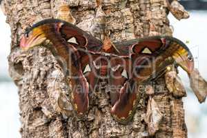 Attacus Atlas moths are one of the largest lepidopterans in the world