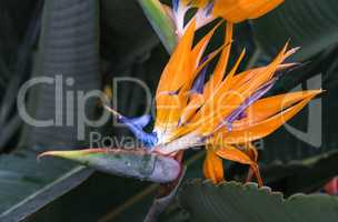 Strelitzia reginae, orange and blue bird of paradise flower