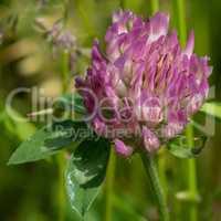 Red clover, Trifolium pratense