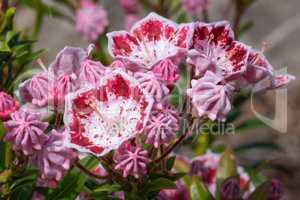 Mountain laurel, Kalmia latifolia