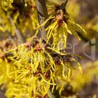 Witch Hazel Hybride, Hamamelis intermedia