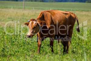 Cow pasture in green meadow.