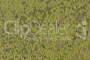 Ivy floating in a pond, detail of aquatic plants photo