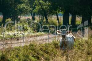White cow pasture in green meadow.